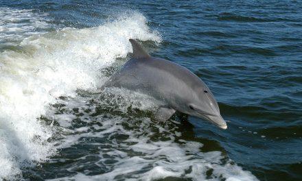 Egy kanos delfin miatt lezártak egy franciaországi strandot
