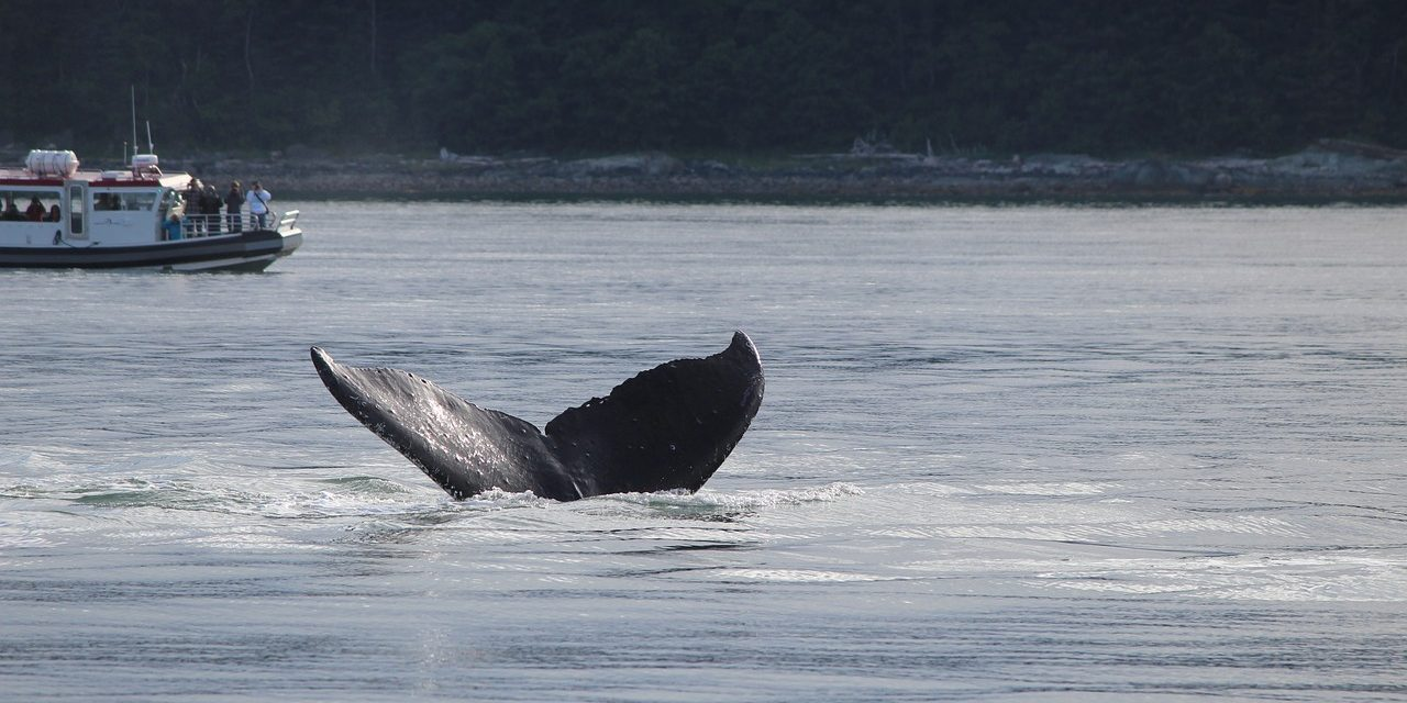 A tiltakozások ellenére közel 200 bálnát ölt le Japán