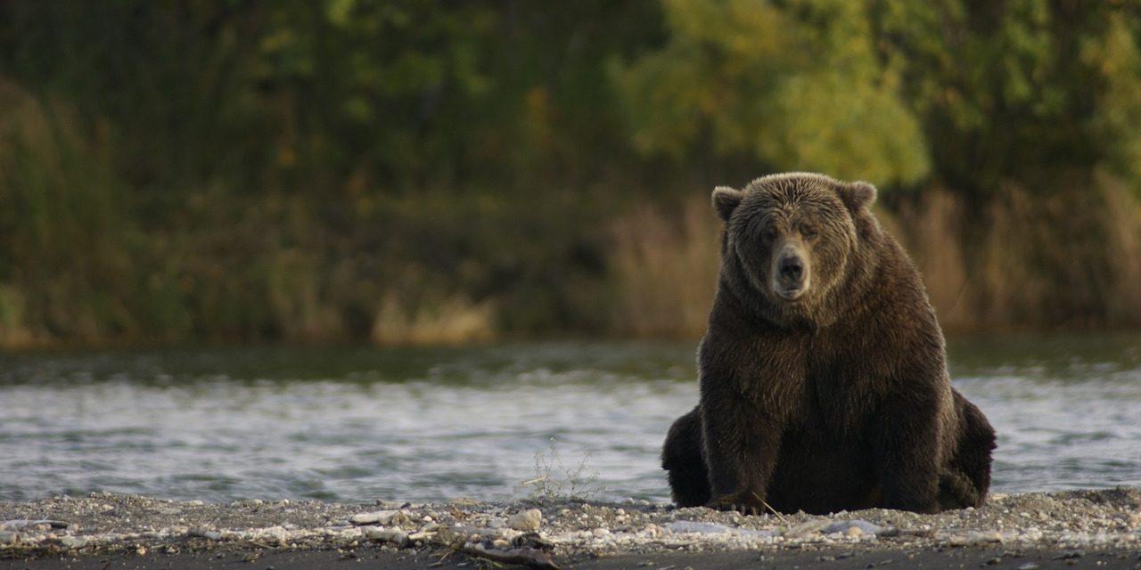 Hat tusnádfürdői medve kiemelését hagyta jóvá a román Környezetvédelmi Minisztérium