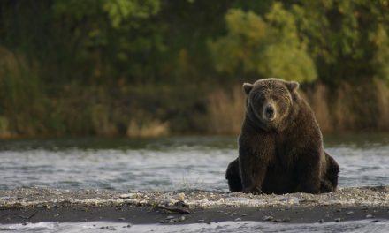 Kilőtték a hűtőszekrényt kirámoló medvét Tusnádfürdőn