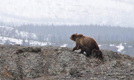 Kilőtték a második tusnádfürdői medvét is