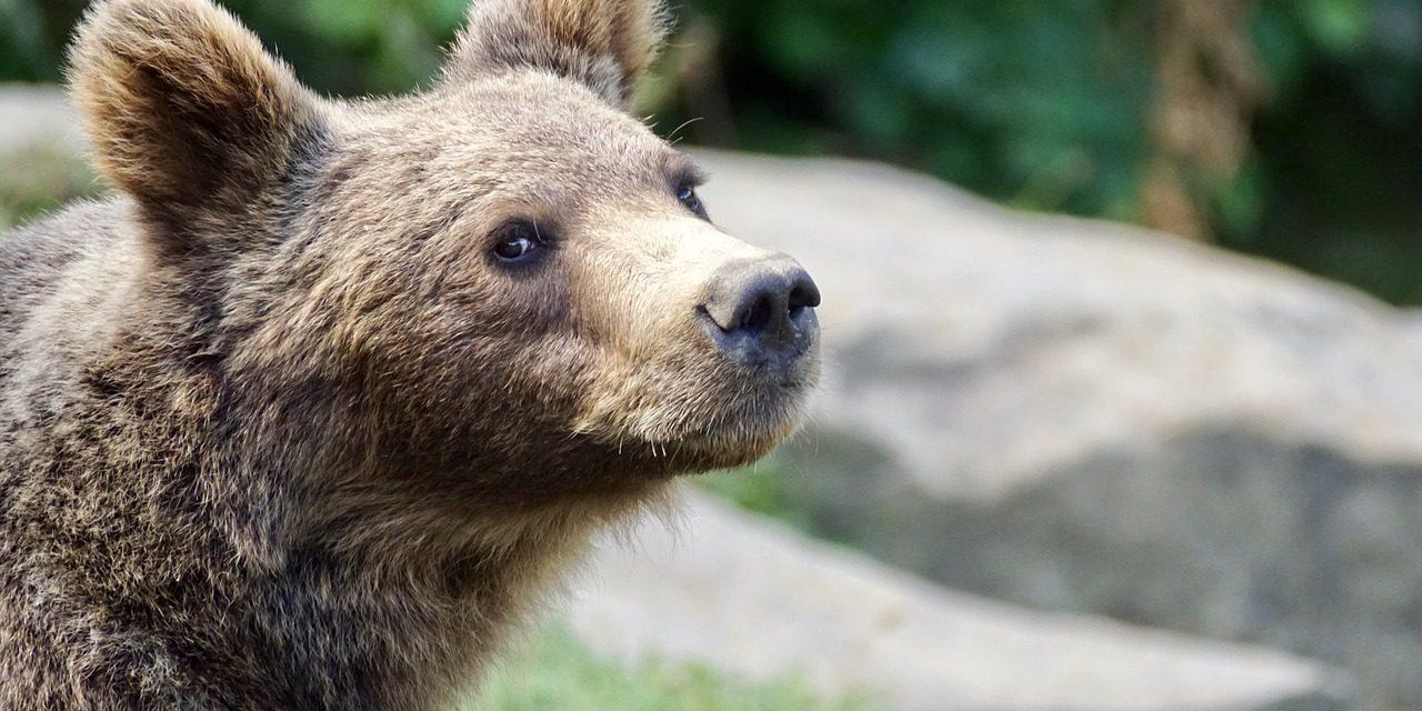 Csíkszeredai iskolaudvaron lőttek ki kedden egy újabb medvét