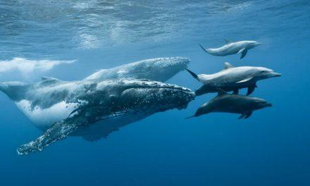 Ezt látnod kell! Így játszanak egymással az óceánban a bálnák és a delfinek