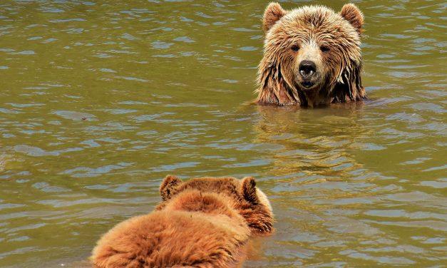 A medvevadászat engedélyezését sürgeti a Hargita megyei önkormányzat