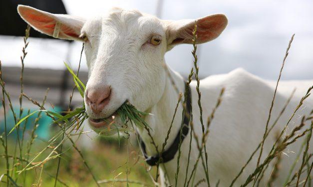 A kecskék a mosolygós embereket szeretik