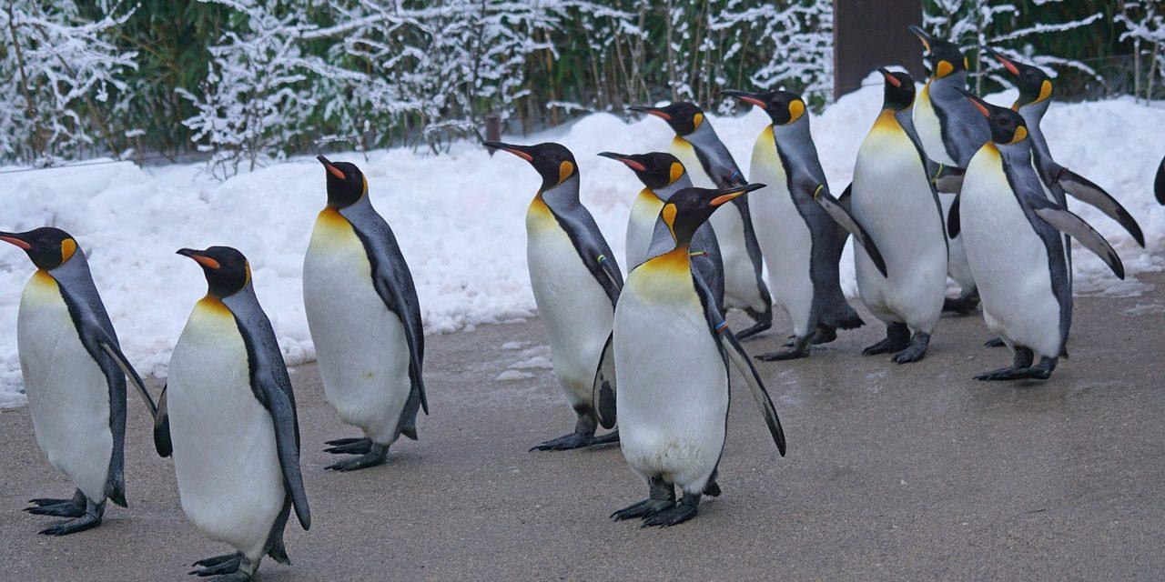 Lassan elbúcsúzhatunk a királypingvinektől is