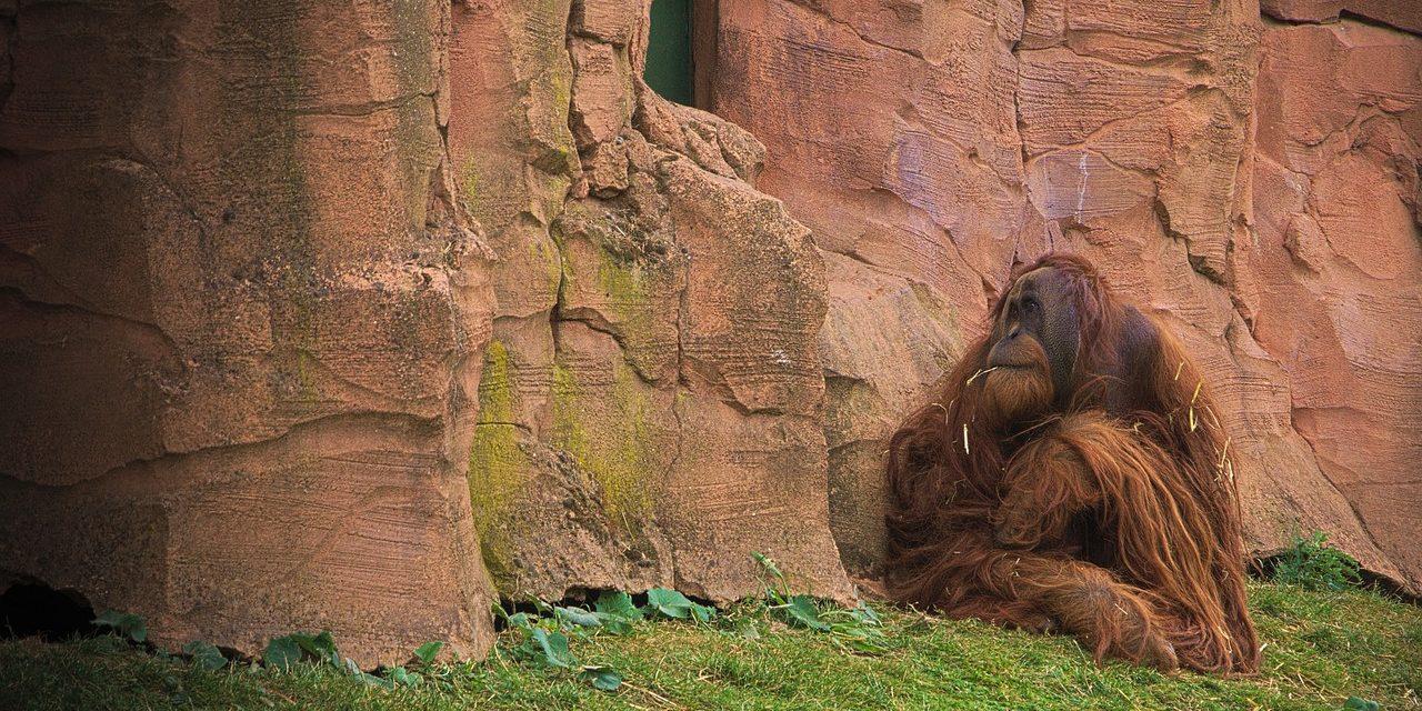 Afrika majmainak létét fenyegethetik az olajpálma-ültetvények