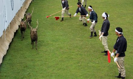 Bika helyett szarvasviadalokat tartanak Japánban