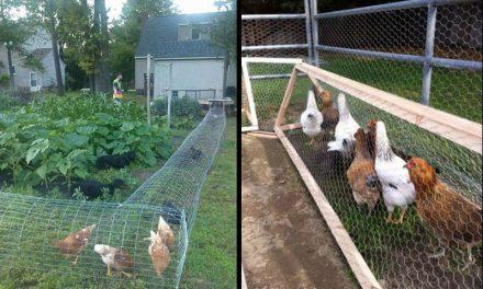 A boldog csirke titka, a csirkecsatorna