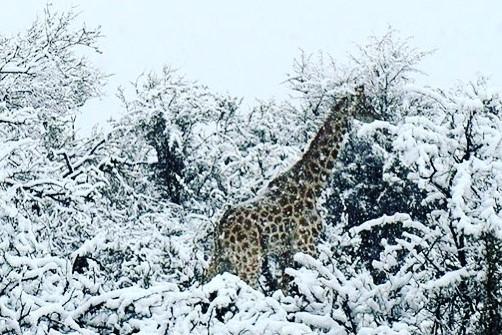 Esett a hó Dél-Afrikában, meglepődtek a zsiráfok
