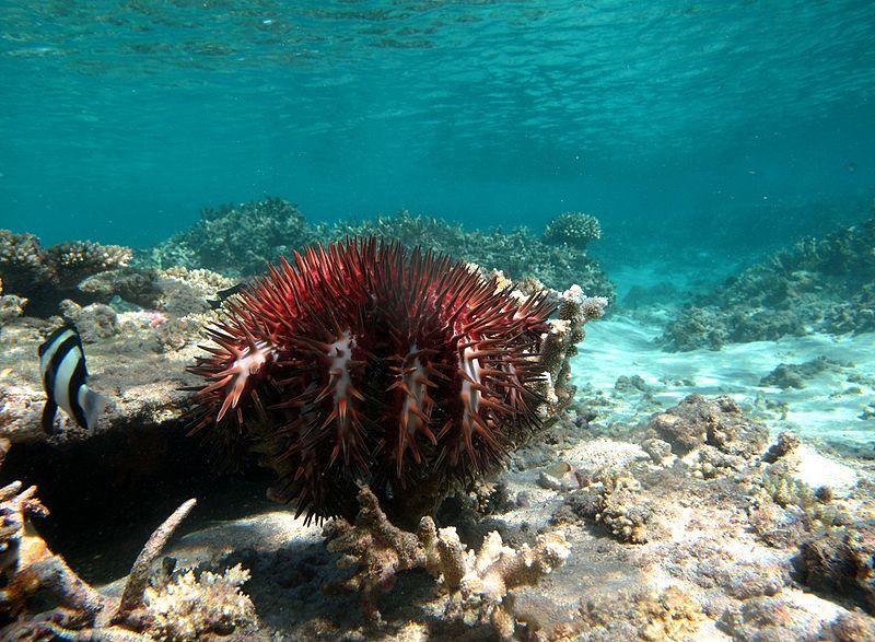 Robotjárőrrel vadásszák le a korallevő tengericsillagokat