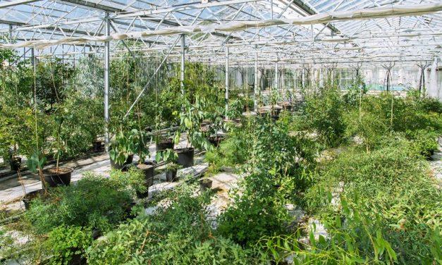 Saját eukaliptusz-ültetvényt hozott létre a koalái számára a Schönbrunni Állatkert