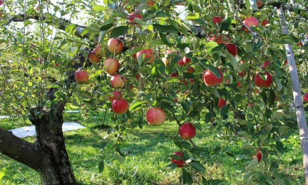Egyél almát, aztán ültess egy csemetét!