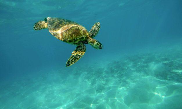 A tengeri teknősök több mint fele eszik műanyagot
