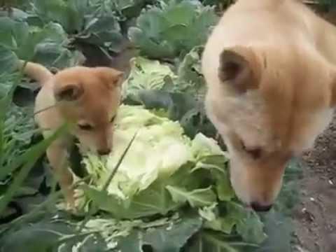 Nálatok bejár a kutya a zöldséges kertbe falatozni?