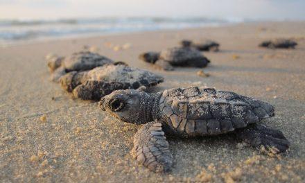 Mikroműanyagot rejt a homok a teknősfészkek közelében is
