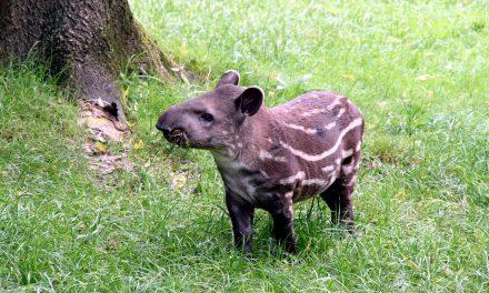 Elpusztult az állatkerti kistapír