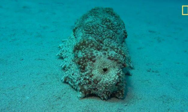 Egy meglepően hasznos anyag a tengerben: a tengeri uborka széklete