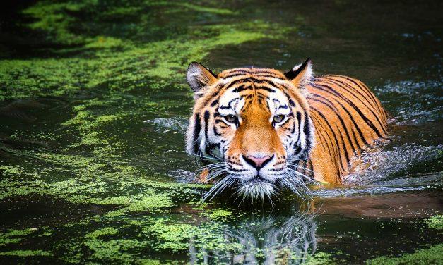 Nepálban tíz év alatt megduplázódott a vadon élő tigrisek száma