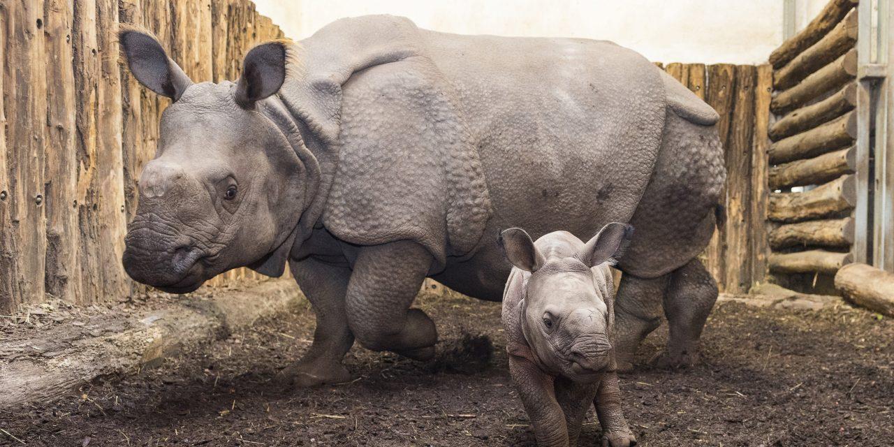 Indiai páncélos orrszarvúbébi született a Nyíregyházi Állatparkban