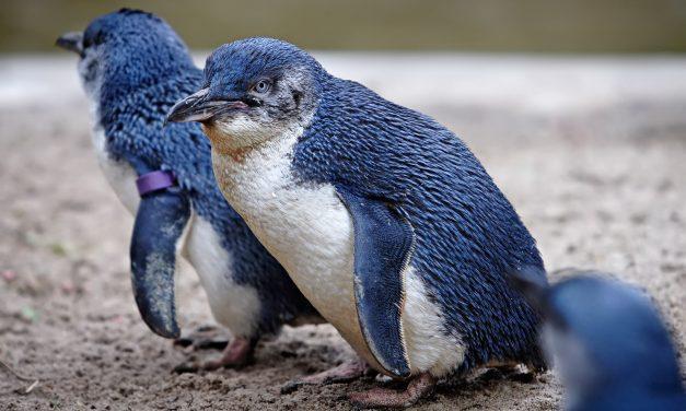 Kutyatámadásban pusztulhatott el több tucatnyi törpe pingvin Tasmaniában