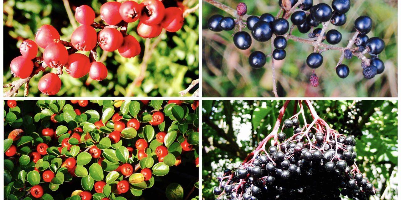 Az egyik finom, a másik halálos. Te felismered az őszi bogyókat?