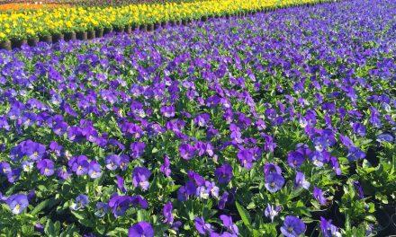 Százezer tő vibráló színű árvácskát ültet a FŐKERT