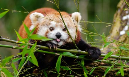 Becsajozott Baltazár, a Szegedi Vadaspark vörös pandája