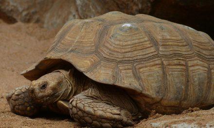 Ritka teknősbébik születtek Debrecenben