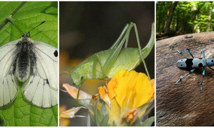 Kecses pillangó, bennszülött szöcske, vagy az égszínkék cincér? Te kit választanál?