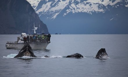 Elhallgat a bálnák éneke az ember okozta zaj miatt