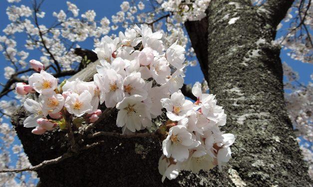 Váratlan cseresznyefa-virágzás kezdődött Japánban