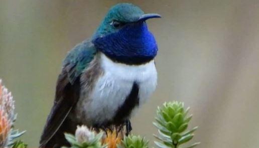 Felfedeztek egy új kolibrifajt, amit máris a kihalás fenyeget