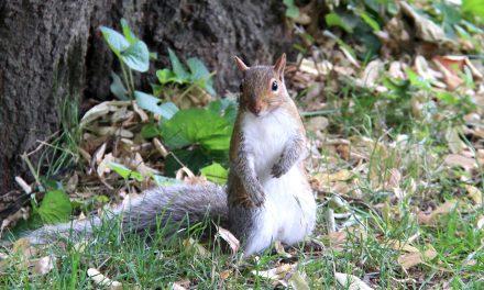 Mókusnépszámlálást kezdtek a Central Parkban