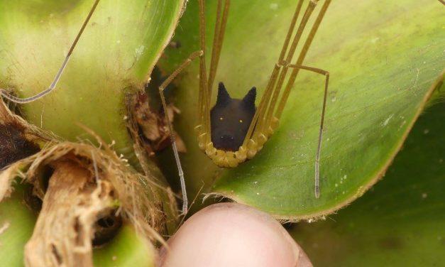 Az őserdő mélyén él ez a rémisztően aranyos, kutyaarcú pók