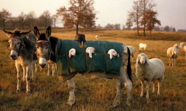 Gigantikus paradicsomok és bárányokat pesztráló szamarak a hét képein