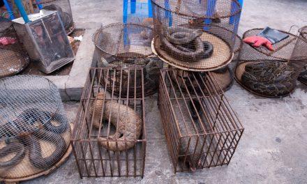 Prostiként az illegális vadkereskedelem ellen