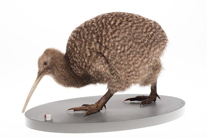 Több mint száz év után ismét fészkelnek majd a kivik Wellingtonban