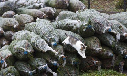 Több mint 20 százalékkal is nőhet a karácsonyfa ára idén