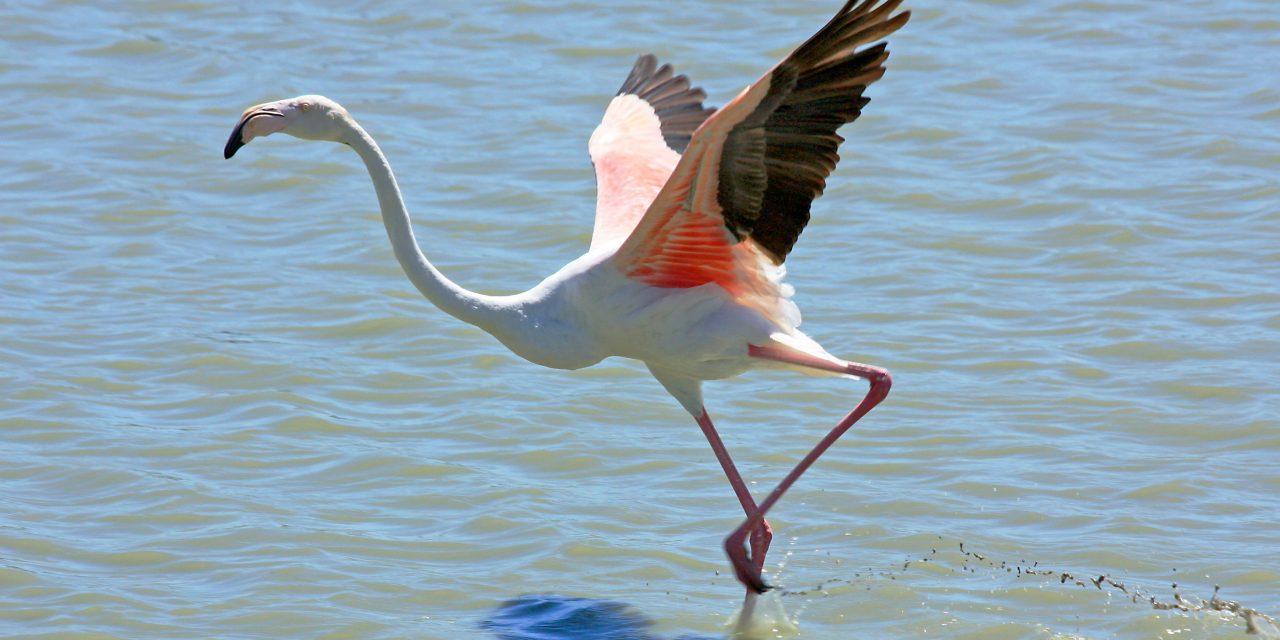 Újabb ritka madárfajt, rózsás flamingót figyeltek meg Magyarországon