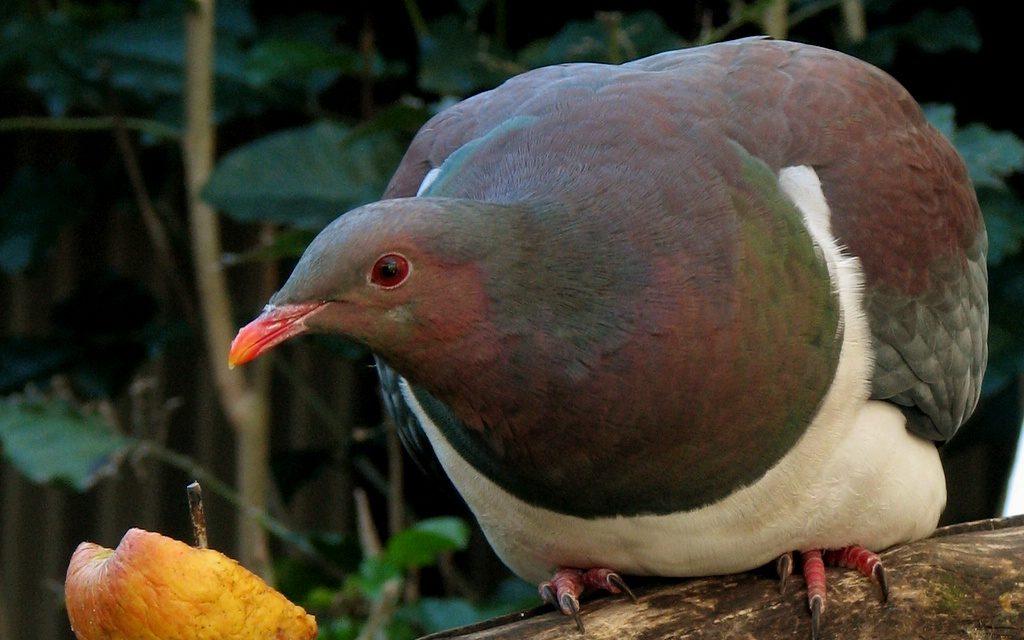 Gyakran leesnek a fáról, olyan részegek Új-Zéland kedvenc galambjai
