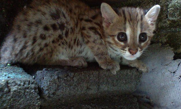 Rendkívül ritka leopárdmacska született a debreceni állatkertben