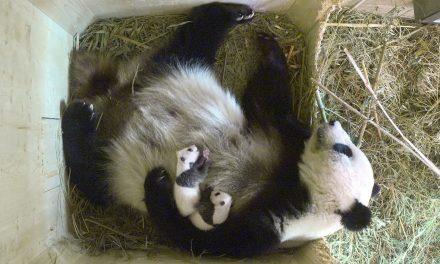 November végén Kínába viszik a bécsi pandaikreket
