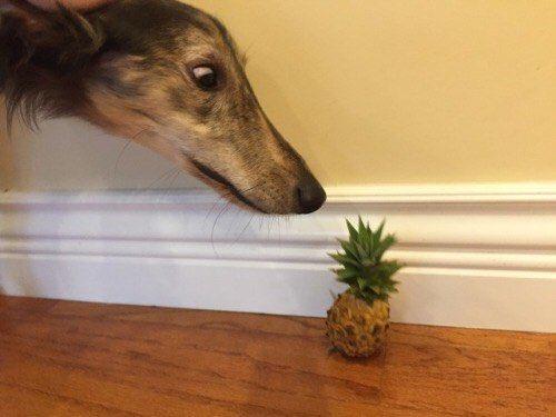 A macska-uborka pánik után jön a kutya-ananász konfliktus?