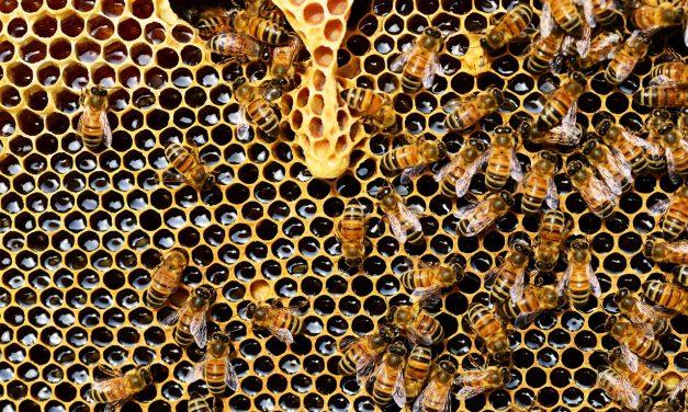 A termőföldek negyedének virágzó növényekkel való bevetése megmenthetné a méheket