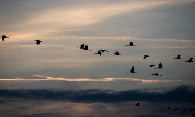 Ismét darvadozást rendeznek a Szegedi Fehér-tónál