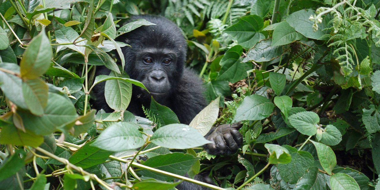 Lekerültek a kihalás fenyegette fajok listájáról a hegyi gorillák