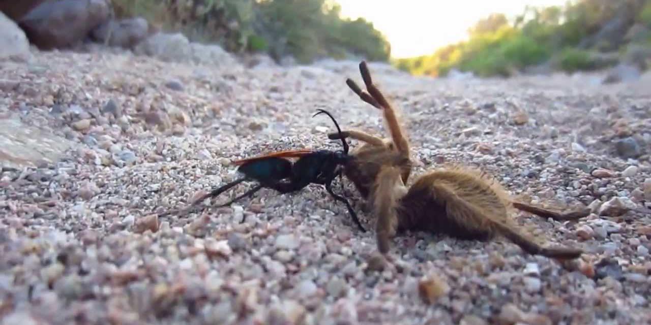 Így küzdi le óriási ellenségét a tarantulaölő darázs