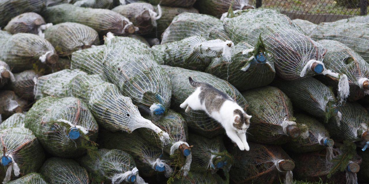 Komposzttelepre kerülnek a karácsonyfák az ünnepek után