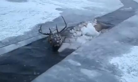 Ő itt Szibéria legszerencsésebb gímszarvasa
